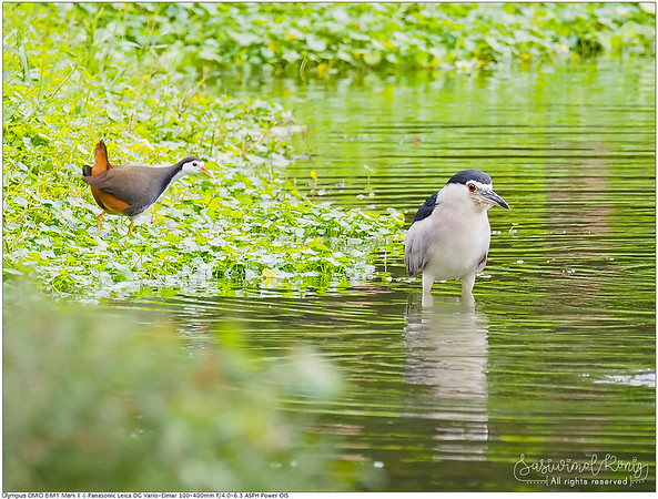 White-breasted waterhen & Black-crowned night heron นกกวัก กับ นกแขวก