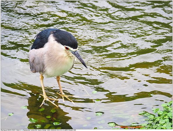 Black-crowned night heron, always looks so pissed?! หน้าโมโหตลอดเว