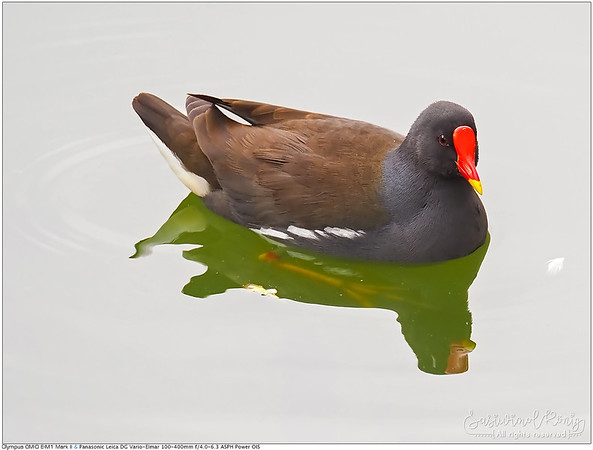 Common Moorhen with visible foot น้ำไม่ใส แต่ก็แอบเห็นเท้าเธอนะ