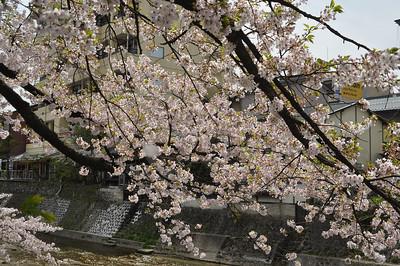 Takayama Cherry Blossoms, image copyright Appie Verschoor