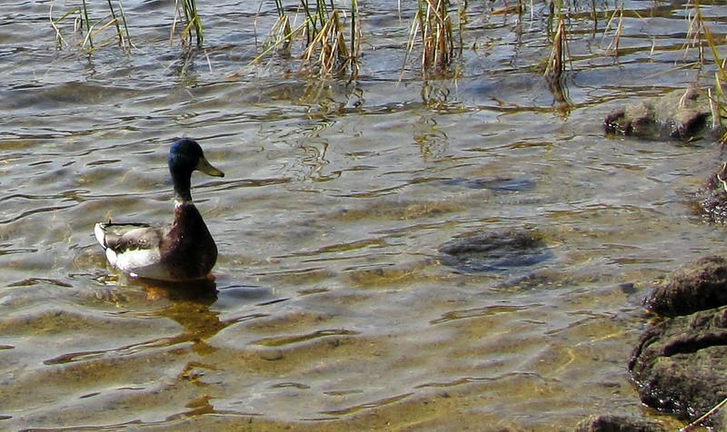 Duck duck, no goose.