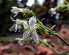 Sticky Gilia (Aliciella pinnatifida)
