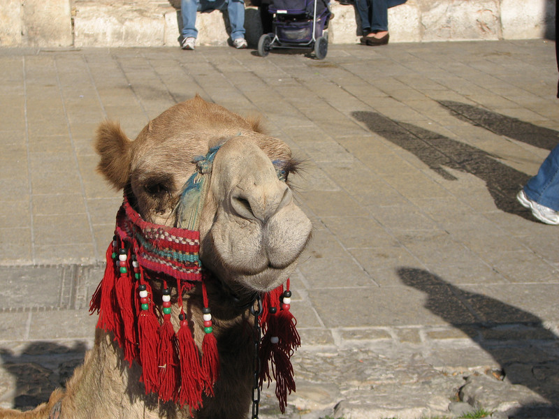 2007 12 29 Sat - Old City walk - tourist camel ride outside Jaffa Gate 3