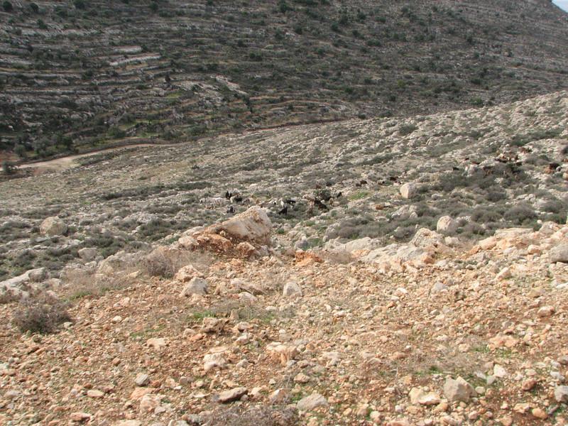 2008 01 01 Tue - Arab shepherd & his flock