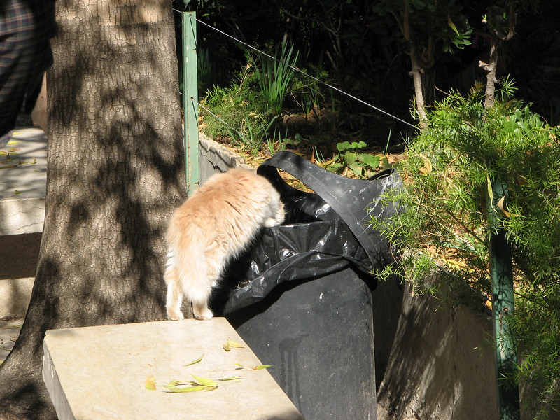 2007 12 29 Sat - Old City walk - Via Dolorosa - alley cat grabbing grub in trash can.<br /> <br /> I so had the urge to push him in. :)