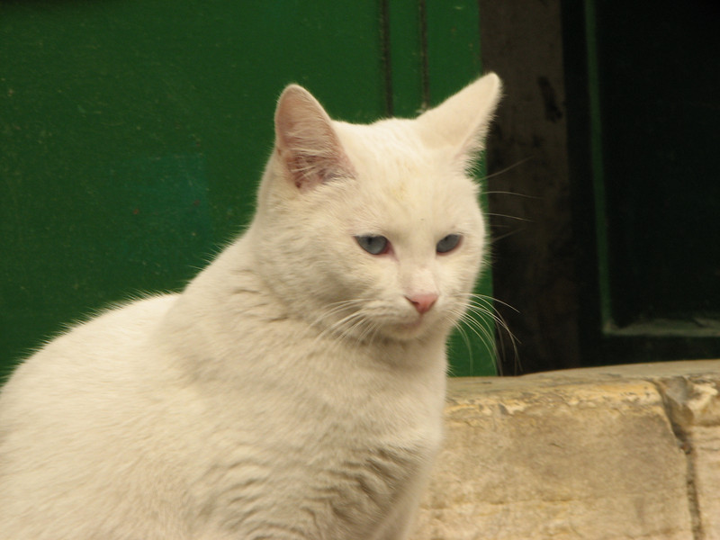 2007 12 29 Sat - Old City walk - Via Dolorosa - white cat