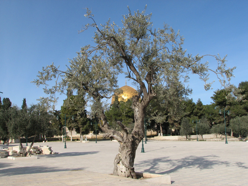 2007 12 31 Mon - Dome of the Rock muslim prayer house and olive tree on Temple Mount