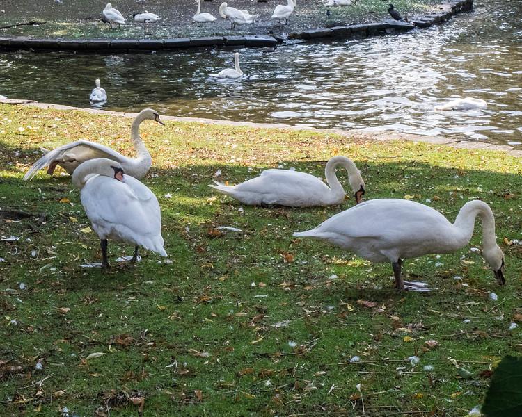 Swans. Bruges