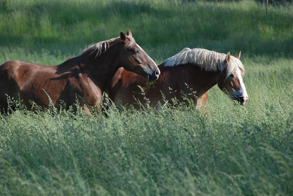 Belgian Horses Grazing