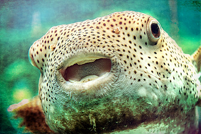 Puffer Fish