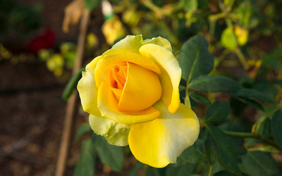 4_30_19 Yellow Rose