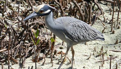4_5_19 Golden Crowned Night Heron