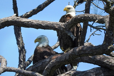 4_29_19 Eagles at Honeymoon Island