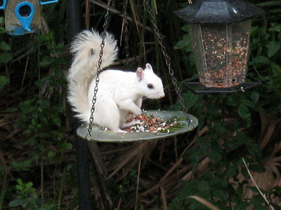 8_2_19 White Squirrel Eating From Bird Feeder