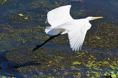 8_25_19 Great Egret taking off