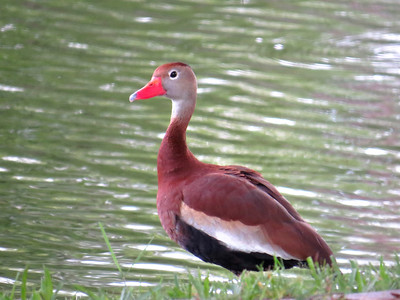 8_16_19 Black-bellied Whistling Duck