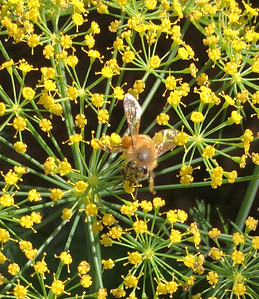 8_8_19 Bees having Dill Delight lunch