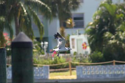 8_30_19 Seagull In Flight