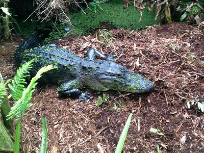 8_15_19 Alligator on nest