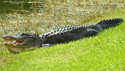 12_12_19 Big Gator