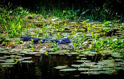 12_9_19 Gator Sunbathing