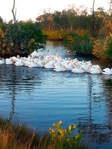 12_16_19 White Pelicans
