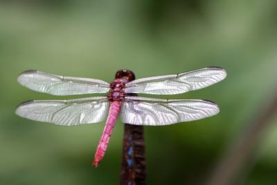 2_13_19 Roseate Skimmer Dragonfly