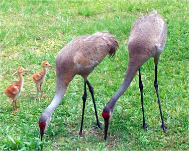 2_24_19 Sand Hill Cranes with babies
