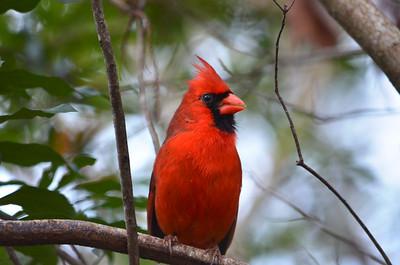 2_1_19 Cardinal