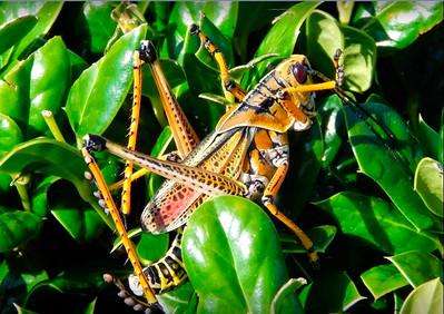 2_11_19 EasternLubber Grasshopper