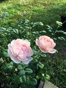 2_14_19 Winter Roses