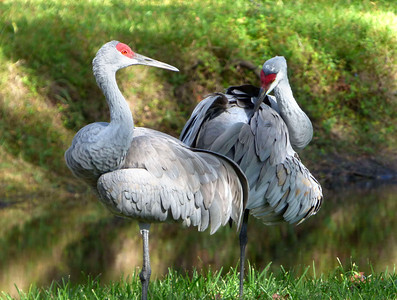 2_10_19 Pair of Sandhill Cranes in preening mode