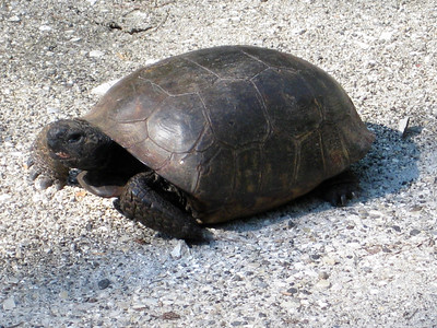 1_22_19 Strolling Tortoise