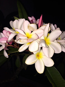 1_18_19 Plumeria after dark