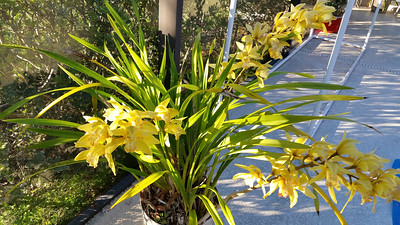 1_1_19 Cymbidium orchid in full bloom