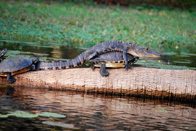 1_24_19 Alligator on turtle on log