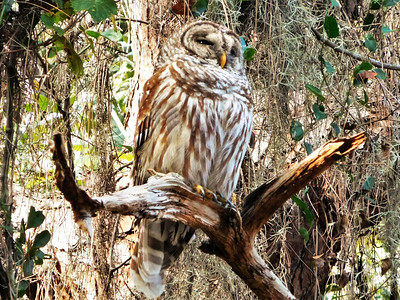 1_20_19 Barred owl in Live oak