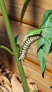 1_6_19 Butterfly Caterpillar on the Milkweed in my garden