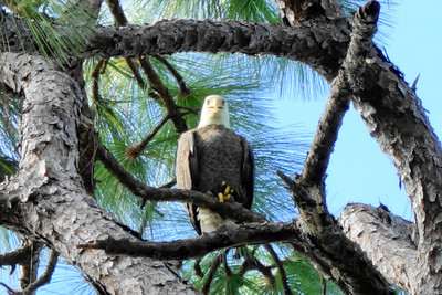 1_14_19 Bald Eagle in Pine Tree