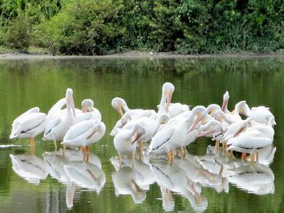 7_15_19 White Pelicans-rgb