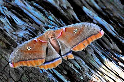 6_20_19 Polyphemus Moth