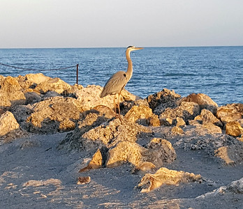 3_16_19 Grey Heron at Sunrise