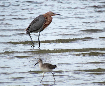 3_3_19 Reddish Egret and a Friend