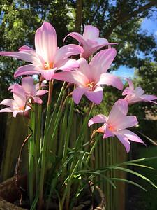 3_22_19 Rain Lilies