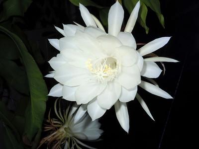 3_15_19 Dutch Pipe cactus bloom