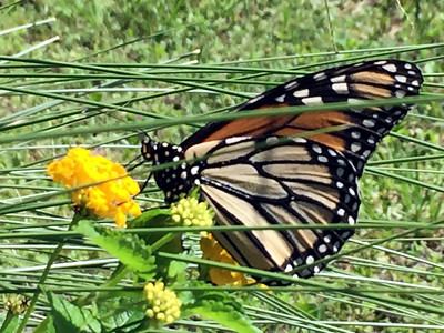 3_13_19 Grazing Butterfly