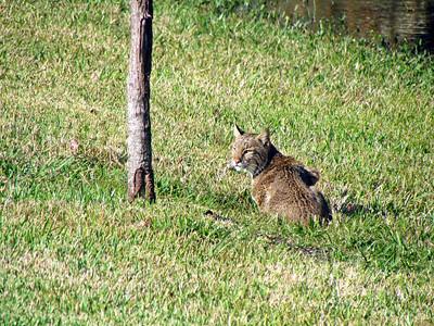 3_29_19 Resident bobcat