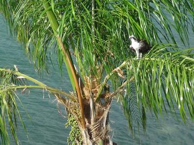 3_8_19 Osprey in tree
