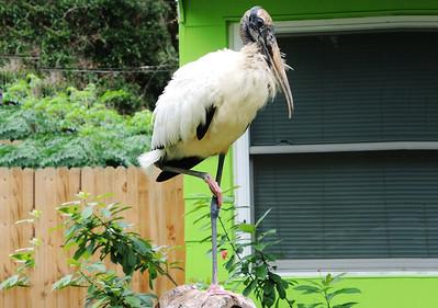 5_12_19 Wood Stork