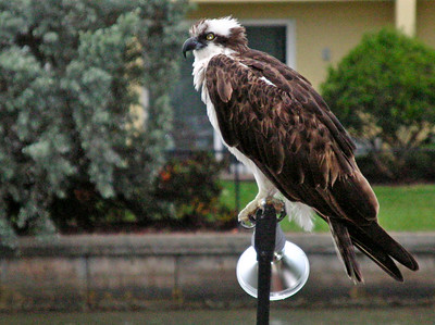 11_17_19 Osprey Perched On A Dock Light